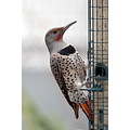 Northern redshafted Flicker birds Burnaby BC Canada