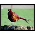 bird pheasant game nature malvernhills carlsbirdclub somersetdreams