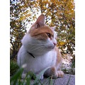 cat pet animals max autumn