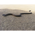 legless lizard reptile animal nature
