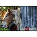 horse haflinger blonde model