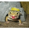 Leopard Gecko pet reptile lizard Jack hat halloween farmer tongue