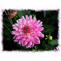 Dahlia Plant Flower Aloha Oregon