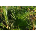 alora photos plant garden spain home green palm flower