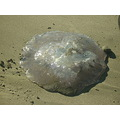 crescent city california beach ocean jellyfish