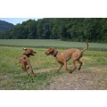 animal animals dog dogs HuntingDogs MagyarVizsla Vizsla Anuschka Alvaro