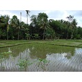 reflectionthursday rice paddy ubud bali littleollie