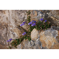 what makes me happy - campanula zoysii - antient plant