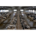 Easter Monday 2013 - the cows are all very used to the new system now and love being inside the b...