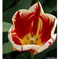 beautyfriday flower tulip