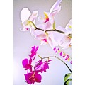 orchids glo flowers mexico