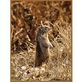 groundsquirrel nature
