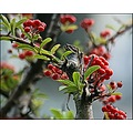 Berries nature red green