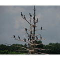 Cormorants in the Thousand Islands