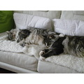 Friendfriday Maine Coon cats liescatsclub