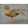 stlouis missouri usa duck female funny 090911