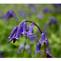 bluebells brownsham devon