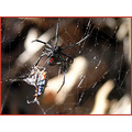 spider prey blackwidow