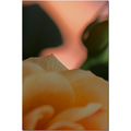 rose closeup abstract dof