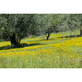 Malaga Andalucie Landscape nature spring Spain olive yellow flowers
