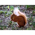 Mammals Squirrel RedSquirrel Nature Wildlife BrownseaIsland Dorset