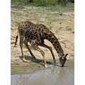 giraffe animal wildlife
