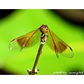 dragonfly maiylah philippines nature