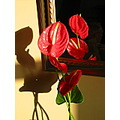 anthurium shadow sunlit