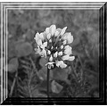 flower floral clover garden uk bloom blackandwhite