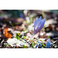 crocus flower autumn fall varna bulgaria park nikon sigma