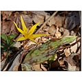 yellowtroutlilly dogtoothviolet wildflower lilyfamly lilaceae erythroniumrostra