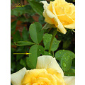yellow rose leave green insect