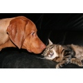 Animals Dogs Vizsla Vizslas Alvaro Cat Cats DogCat Hxli Hexe Witch