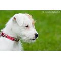 dogs jack russell terriers
