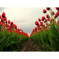 tulips bulbfield bulb red green