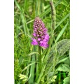 Peak District Derbyshire Common Spotted Orchid