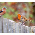 robin and friend