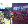 Geraniums on my shed window cill