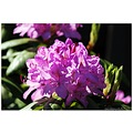 rhododendron flower nature