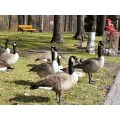 This is Our domain St. Vital Park, Winnipeg, Canada Canada Geese