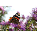 red admiral rosemoor devon wildlife