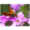 Nature Wildlife Macro Butterfly Small Skipper Spideyj