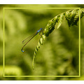 damsel fly insect