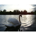 swan nature water sunset