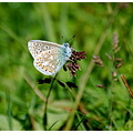 common blue braunton burrows devon