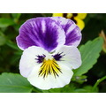 Garden Flower Summer Bed Outdoors Pansy White Lilac Plant Petals Leaves