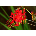 ShutterlySpectacularPhotography Crocosmia