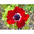 Nature Flowers Plants Anemone Red