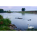 nature wildlife landscape swan ribble water twilight spideyj
