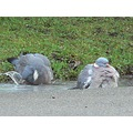 pigeons puddle birds wildlife